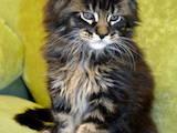 Кішки, кошенята Мейн-кун, ціна 9000 Грн., Фото