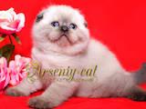 Кішки, кошенята Шотландська висловуха, ціна 5000 Грн., Фото