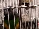 Попугаи и птицы Попугаи, цена 2250 Грн., Фото