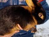 Грызуны Кролики, цена 400 Грн., Фото