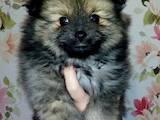 Собаки, щенки Померанский шпиц, цена 9500 Грн., Фото