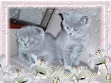Кішки, кошенята Шотландська висловуха, ціна 1500 Грн., Фото