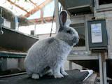 Гризуни Кролики, ціна 400 Грн., Фото