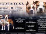 Собаки, щенята Американський стаффордширський тер'єр, ціна 23000 Грн., Фото