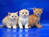 Кішки, кошенята Шотландська висловуха, ціна 3500 Грн., Фото