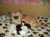 Собаки, щенята Чихуа-хуа, ціна 3900 Грн., Фото