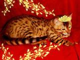 Кішки, кошенята Бенгальськая, ціна 4000 Грн., Фото