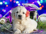 Собаки, щенята Лабрадор ретрівер, ціна 15000 Грн., Фото