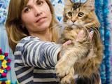 Кошки, котята Мэйн-кун, цена 10000 Грн., Фото