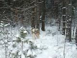 Собаки, щенята Західно-Сибірська лайка, ціна 10000 Грн., Фото