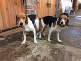 Собаки, щенки Эстонская гончая, цена 2555 Грн., Фото