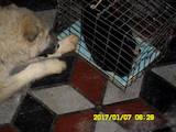 Собаки, щенята Західно-Сибірська лайка, ціна 750 Грн., Фото