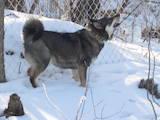 Собаки, щенки Русско-Европейская лайка, цена 3500 Грн., Фото