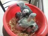 Папуги й птахи Папуги, ціна 16500 Грн., Фото