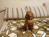 Собаки, щенята Угорська вижла, ціна 5000 Грн., Фото