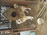 Собаки, щенята Західно-Сибірська лайка, ціна 6000 Грн., Фото