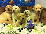 Собаки, щенята Лабрадор ретрівер, ціна 5000 Грн., Фото