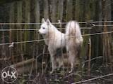 Собаки, щенки Западно-Сибирская лайка, цена 1450 Грн., Фото