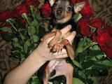 Собаки, щенята Чихуа-хуа, ціна 2000 Грн., Фото