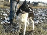 Собаки, щенки Западно-Сибирская лайка, цена 5500 Грн., Фото