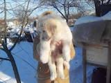 Собаки, щенки Кавказская овчарка, цена 16000 Грн., Фото