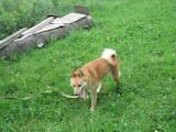Собаки, щенята Російсько-Європейська лайка, ціна 4200 Грн., Фото