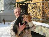 Собаки, щенята Німецька вівчарка, ціна 2750 Грн., Фото