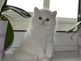 Кошки, котята Шотландская вислоухая, цена 14000 Грн., Фото