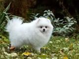 Собаки, щенки Померанский шпиц, цена 28000 Грн., Фото
