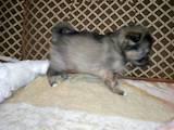 Собаки, щенки Померанский шпиц, цена 3000 Грн., Фото