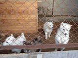 Собаки, щенята Західно-Сибірська лайка, ціна 2300 Грн., Фото