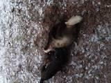Собаки, щенята Ягдтер'єр, ціна 4500 Грн., Фото