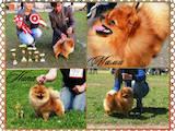 Собаки, щенята Померанський шпіц, ціна 27500 Грн., Фото