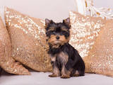 Собаки, щенята Йоркширський тер'єр, ціна 50000 Грн., Фото
