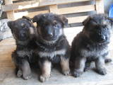 Собаки, щенки Немецкая овчарка, цена 2800 Грн., Фото