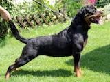 Собаки, щенята Ротвейлер, ціна 8000 Грн., Фото