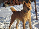 Собаки, щенки Русско-Европейская лайка, цена 4000 Грн., Фото