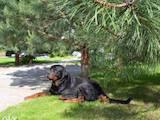 Собаки, щенята Ротвейлер, ціна 1600 Грн., Фото