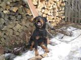 Собаки, щенята Ягдтер'єр, ціна 2200 Грн., Фото