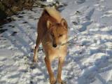 Собаки, щенята Західно-Сибірська лайка, ціна 3500 Грн., Фото