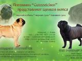 Собаки, щенята Мопс, ціна 20000 Грн., Фото