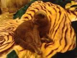 Кішки, кошенята Шотландська висловуха, ціна 10 Грн., Фото
