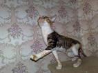 Кішки, кошенята Корніш-рекс, ціна 2500 Грн., Фото