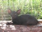 Кішки, кошенята Орієнтальна, ціна 3200 Грн., Фото