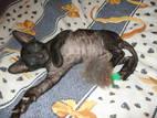 Кошки, котята Корниш-рекс, цена 2500 Грн., Фото
