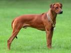 Собаки, щенята Родезійського ріджбек, ціна 3200 Грн., Фото