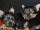 Собаки, щенки Австралийский шелковистый терьер, цена 8000 Грн., Фото