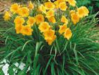 Домашні рослини Садові рослини, ціна 15 Грн., Фото
