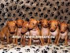 Собаки, щенки Чирнеко дель Этна, цена 11100 Грн., Фото
