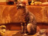 Кошки, котята Корниш-рекс, цена 2000 Грн., Фото